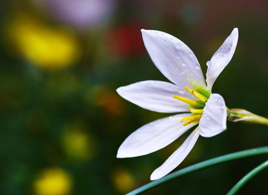 雨後の白花.JPG
