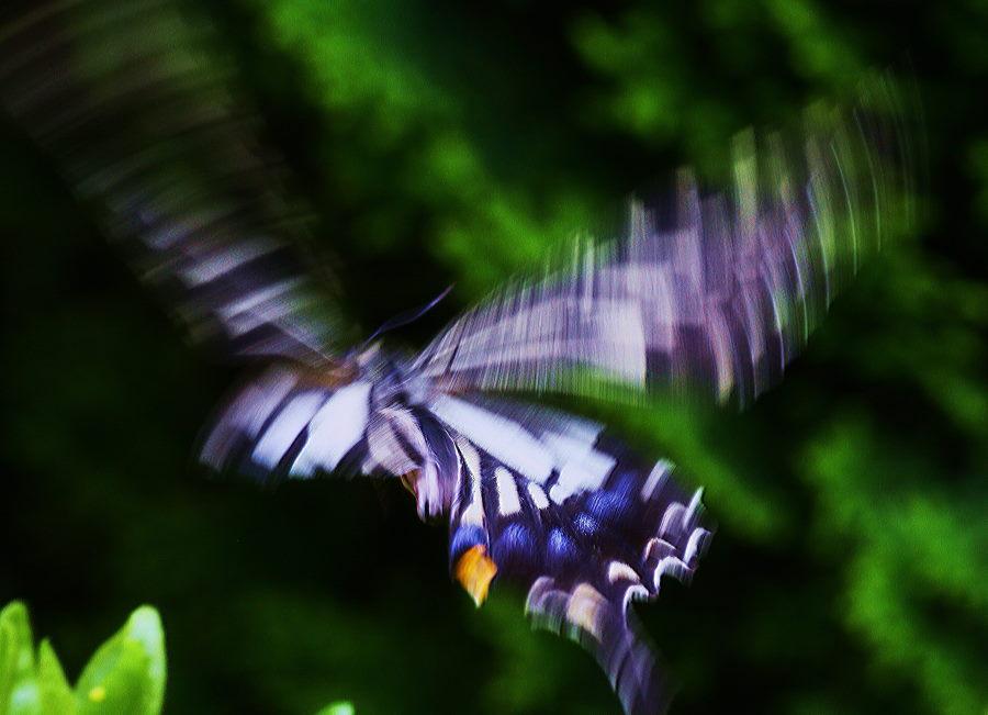 飛行中の蝶.JPG